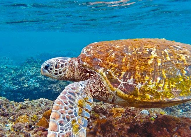 小琉球海中有大量綠蠵龜,在「浮潛就能遇到海龜」的宣傳下,觀光客人數年年成長。(潘建志攝)