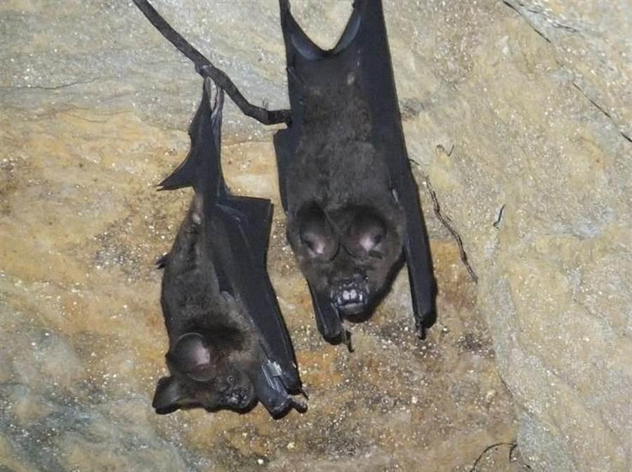 棲息於槓子寮砲台的台灣葉鼻蝠,遭2人侵入捕捉。(摘自基隆生物多樣性生態庫、沈錦豐攝/許家寧基隆傳真)