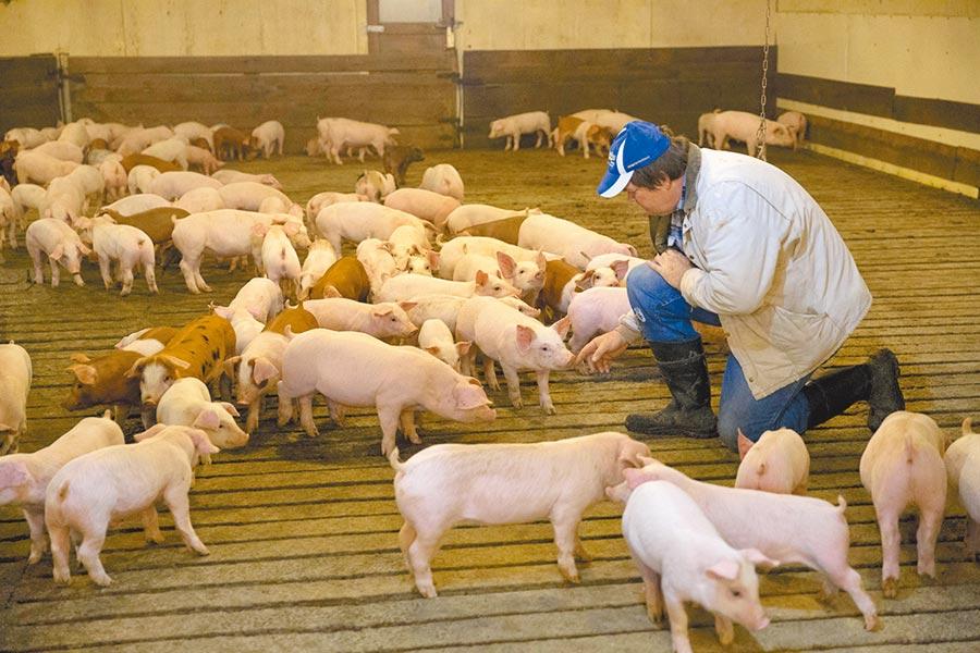 4月中旬,美國愛荷華州柯林斯鎮的一座農場,飼養農戶大衛在幼豬飼養棚內表示對美中貿易摩擦升級感到焦慮。(中新社)