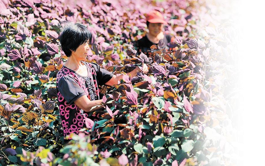 河北農民在田間查看紫蘇生長情況。(新華社資料照片)