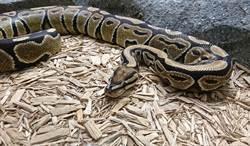 她馬桶蓋掀開 驚見蛇獵食駭人現場