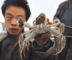 新疆精養螃蟹 上海人的心頭好