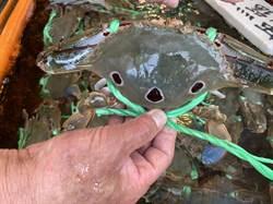 氣溫遲遲不降 萬里蟹產量不如預期