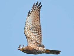 灰面鵟鷹飛屏東 每天上萬隻