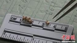 陝西首次發現珍貴蛇類化石 每節僅3毫米