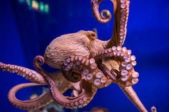 章魚誤入蟹群 他目擊殘忍分屍現場