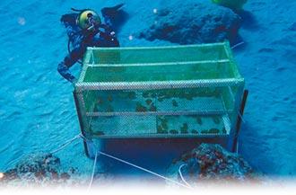 綠島硨磲貝復育 50顆幼貝消失了