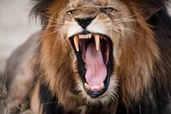 電工上門討欠薪 惡質雇主竟放獅子咬人