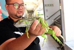 林管處調查  綠鬣蜥尚未在台東擴展族群