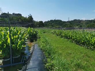 南庄鄉公所推廣紅薑種植進軍日本