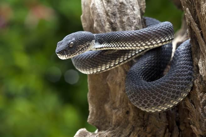 男為求福報放生毒蛇 村民慘被咬死