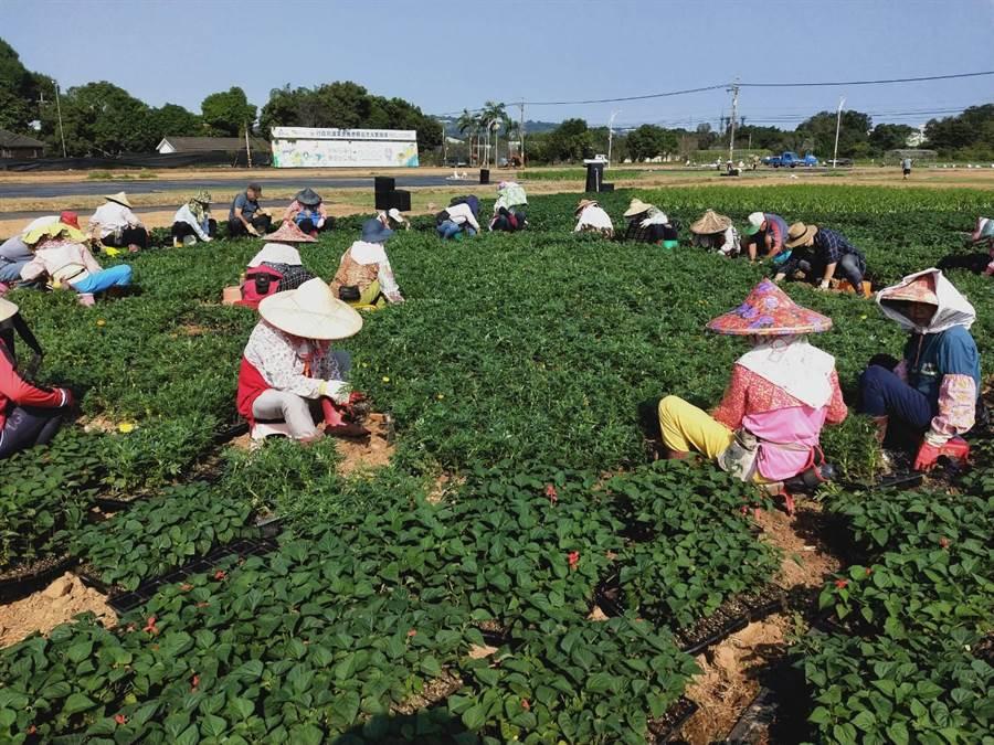 種苗改良繁殖場出動上百位布展工人,頂著豔陽種植鼠尾草、雞冠花、萬壽菊等,估計再過3周進入盛花期。(王文吉攝)