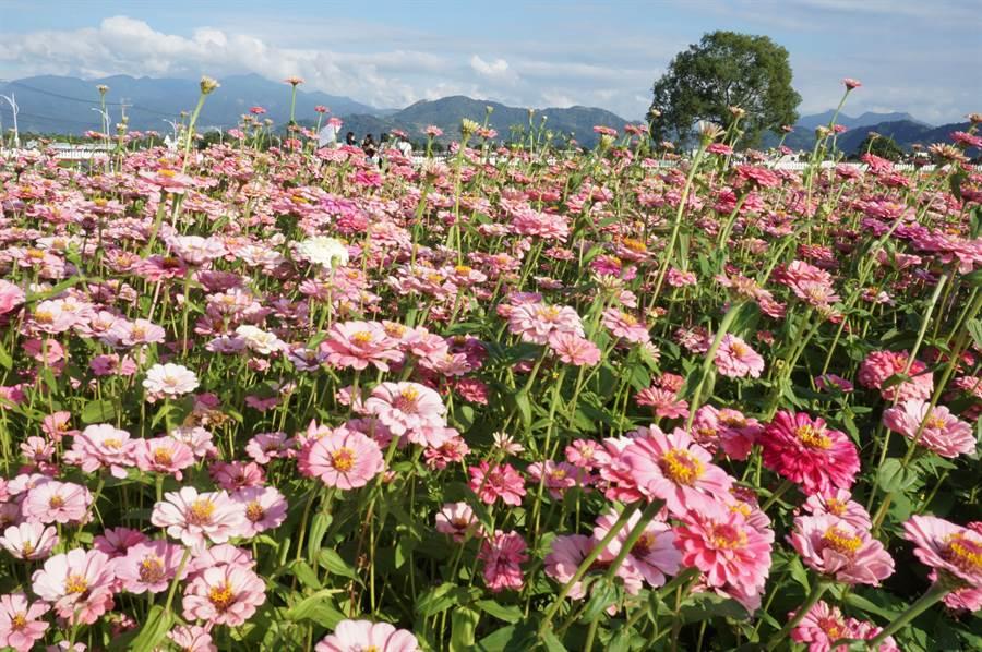 新社花海種植各色波斯菊,估計再過3周進入盛花期。(資料照片)