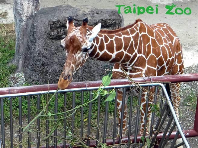 即將滿1歲4個月的長頸鹿寶寶「麥照」,已經變成一個健康又充滿好奇心的大小孩!(台北市立動物園提供)