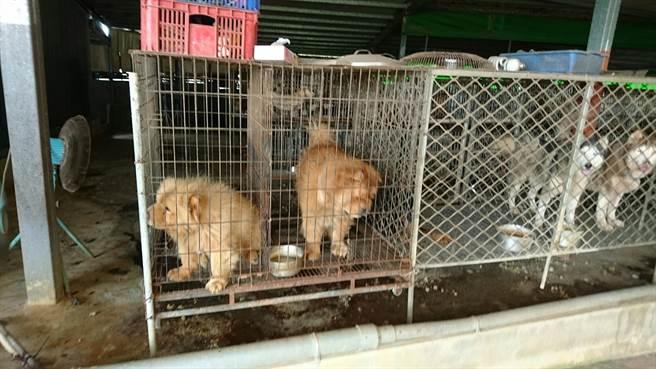 雲林縣動植物防疫所和北港警分局在北港查獲非法貓犬繁殖場,全都是名種。(雲林縣動植物防疫所提供/許素惠雲林傳真)