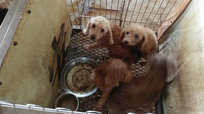 雲林縣動植物防疫所和北港警分局在北港查獲非法貓犬繁殖場,全數沒入,公告後將開放認養。(雲林縣動植物防疫所提供/許素惠雲林傳真)