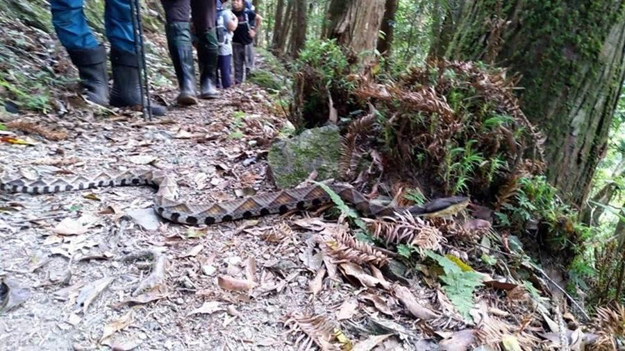 永安國小進行戶外教學的過程中,竟發現一條長約1公尺,卻有著成人手臂寬的「山神」百步蛇擋路。(摘自中央社)