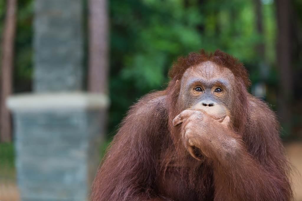沒給猩猩食物就自拍 他看照片驚呆(示意圖/達志影像)