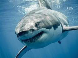 大白鲨交配太激烈 頭被啃掉一大塊
