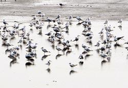 過冬野鳥破百種 水林鄉賞鳥趣