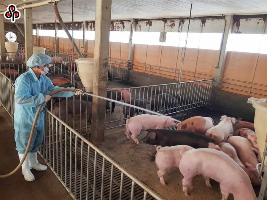 鄰近國家非洲豬瘟肆虐,台灣豬農加強清洗清毒豬舍防範。(本報系資料照)