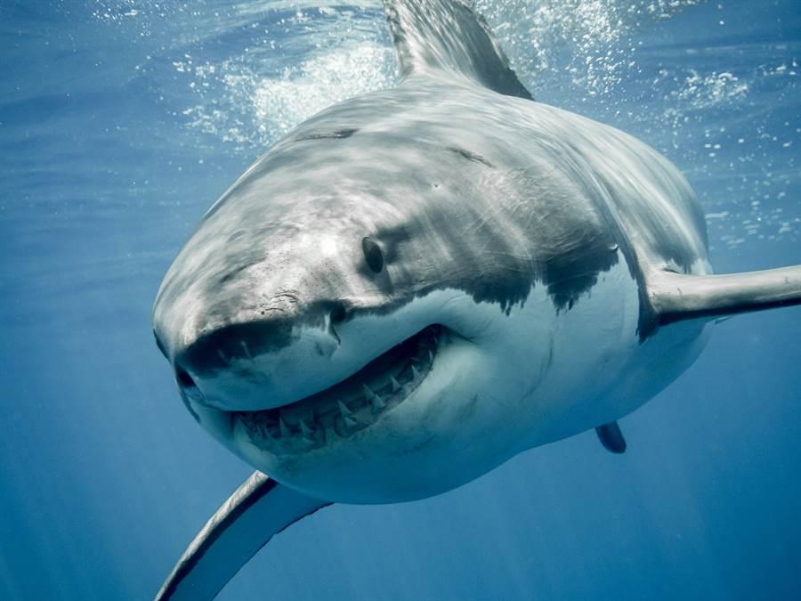 大白鲨交配太激烈 頭被啃掉一大塊(示意圖/達志影像)