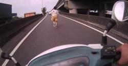 女子快速道路上逆向狂奔警急追護送就醫