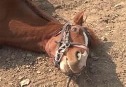 就是不給騎!馬「裝死」耍廢 網笑:是戲精
