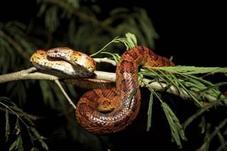 直擊蛇吞蛇!下秒強敵加入網看呆