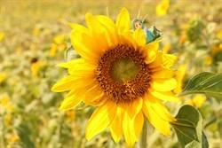 11月遊關渡!向日葵花海大朵開 燦爛好陽光