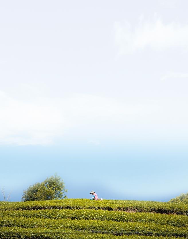 航拍400年雲南普洱古樹皇家普洱茶園。(CFP)