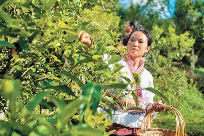 雲南布朗山布朗族鄉老曼峨村村民在採摘古樹茶。(新華社資料照片)