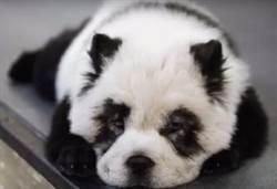 寵物染毛「愛犬變國寶」 網怒:瘋了嗎?