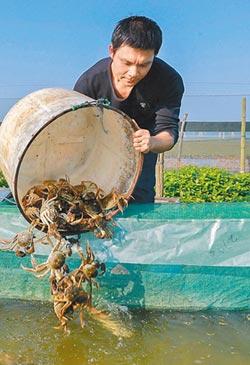 陽澄湖蟹 明年還吃得到嗎?