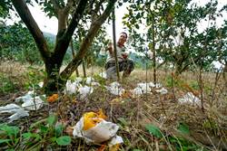損失60萬 果農揭人猴大戰辛酸史