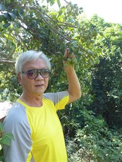 荒廢橄欖園重新墾荒結實纍纍開放採果