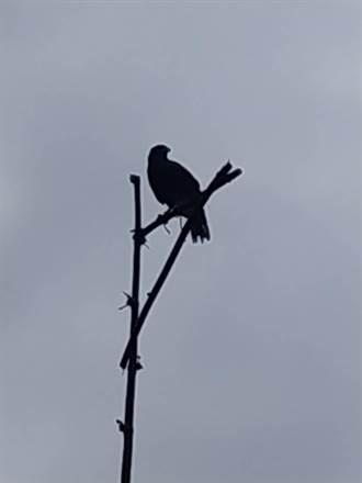 台東林管處防鼠害 設老鷹棲架 栗翅鷹來捧場