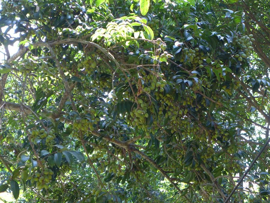 今年氣候佳,台中市霧峰區「普願自然生態園區」內栽種的橄欖樹結實纍纍,將開放民眾開果。(林欣儀攝)