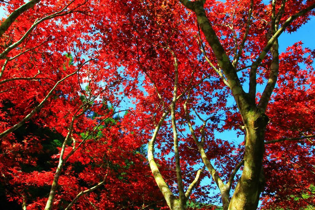杉林溪的楓葉已經轉紅,成為今年第1波賞楓景點。(廖志晃攝)