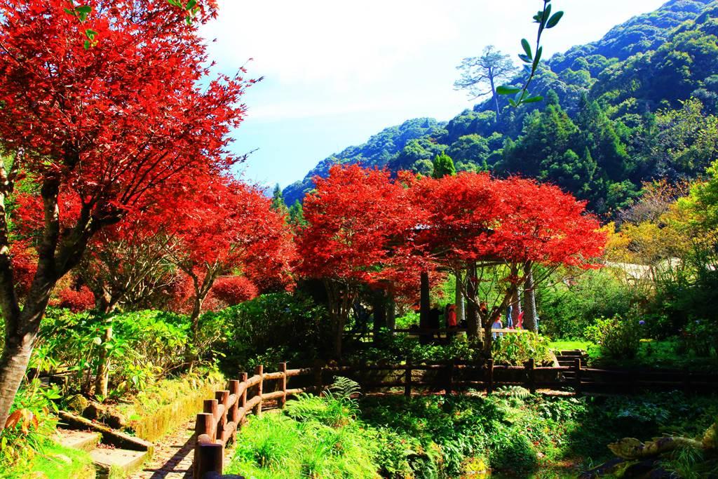 杉林溪的楓葉,紅了!(廖志晃攝)
