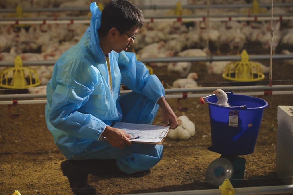 飼養端定期為雞隻檢測,關心健康狀況。圖/陳至雄