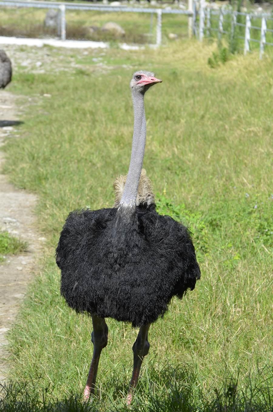 畜試所發現,鴕鳥喜歡綠色以及閃亮白色的物品,對飼育上有很大的幫助。(畜試所提供)