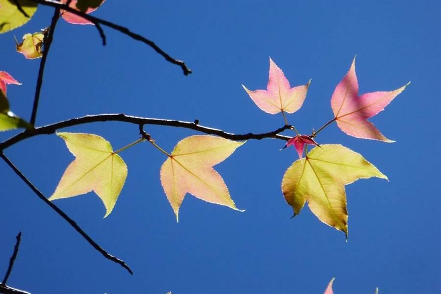▲奧萬大賞楓勝地的青楓,受天候暖冬加上久旱不雨,未轉紅已變枯葉並被颱雨掃落,目前已冒出嫩芽新葉。(林管處提供/楊樹煌南投傳真)