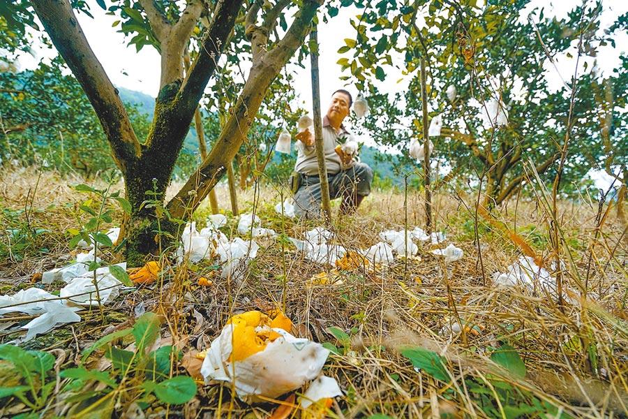 宜蘭縣員山鄉果農吳志祥用電網防猴,但獼猴仍會入侵,果樹下滿是被猴群拆開、棄置的蜜柑套袋。(李忠一攝)