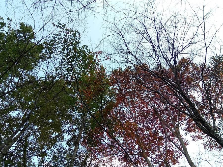 秋意漸濃,八仙山楓葉陸續換上嫣紅新妝。(東勢林管處提供/王文吉台中傳真)