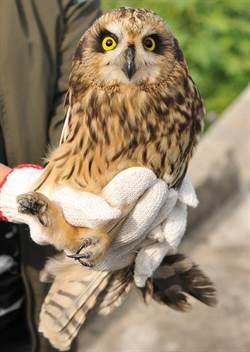 珍稀短耳鴞金門機場掛網  金管處野放重返大自然