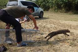 響應保育行動!石虎生態給付家禽通報申請至11月底