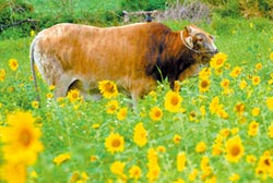 台東9成牛隻已掛耳標
