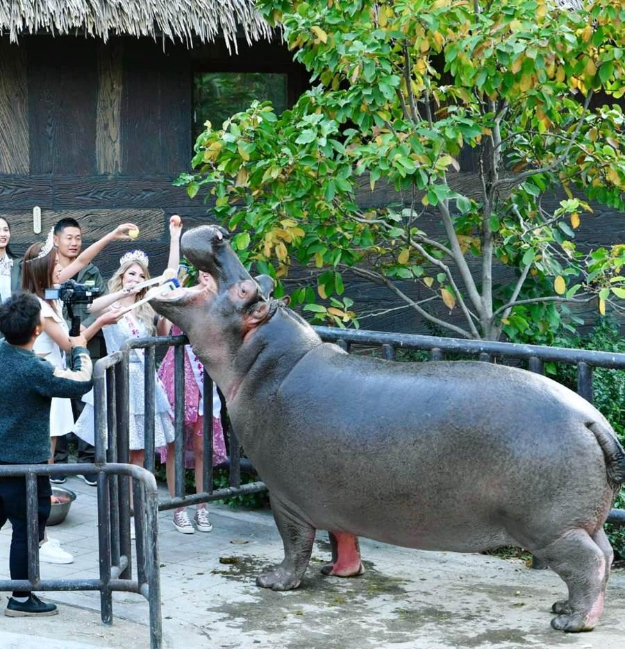 形象大使為河馬刷牙,模樣十分逗趣。(照片/中華全球城市選拔協會 提供)