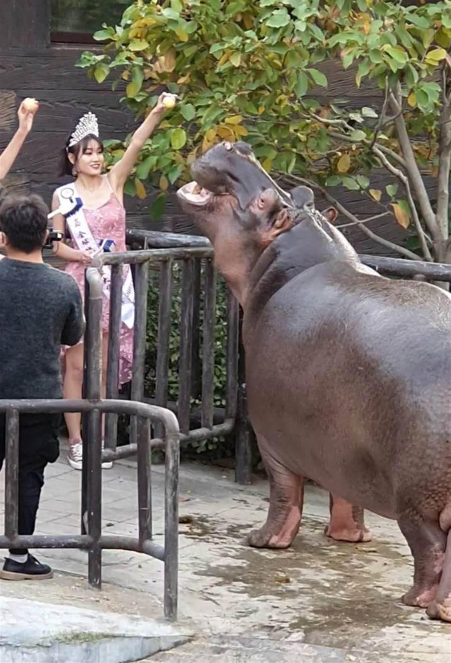 形象大使餵河馬吃蘋果,模樣十分可愛。(照片/中華全球城市選拔協會 提供)